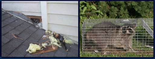 Raccoon causing damage to an attic and a raccoon caught in a cage